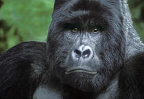 Portrait of wild silverback mountain gorilla by Danita Delimont