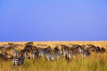 Kenya Equus burchellii by Danita Delimont