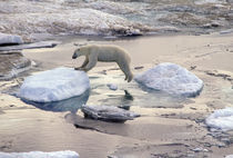 Polar bear leaping across floating ice by Danita Delimont