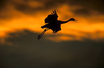 Sandhill crane landing at sunset by Danita Delimont