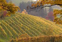 Vineyard in the fall by Danita Delimont