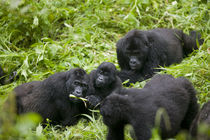 Mountain Gorilla troupe (Gorilla gorilla beringei) in rainforest by Danita Delimont