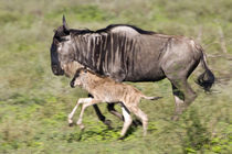 Wildebeest mother and baby at Ndutu in the Ngorongoro Conservation Area von Danita Delimont