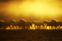 Wild Kiger mustangs kicking up dust at sunrise von Danita Delimont