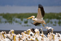 White Pelicans on the shore of Lake Nakuru by Danita Delimont