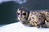 Le Conte Glacier Close-up of baby harbor seal by Danita Delimont