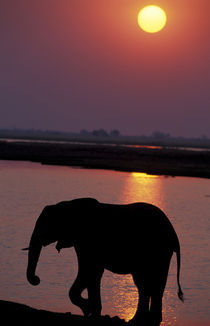 Elephant (Loxodonta africana) silhouetted against river at sunset von Danita Delimont