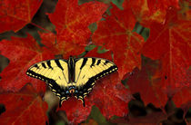 Tiger Swallowtail on maple leaves (pterourus glaucus) von Danita Delimont