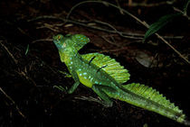 Also called the Jesus Christ lizard by Danita Delimont