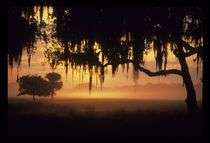 Sunrise silhouette of trees with Spanish moss by Danita Delimont