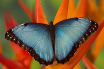 Sammamish Washington Tropical Butterfly photograph of Male Morpho grandensis the Common Blue Morpho on Heliconia by Danita Delimont