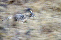 A coyote runs through the hillside blending into his environment von Danita Delimont