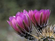 Hedgehog cactus von Danita Delimont