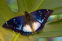 A male with his wings open by Danita Delimont