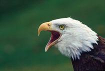 Bald Eagle (Haliaeetus leucocephalus) von Danita Delimont
