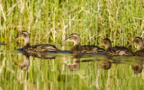 Immature mallard ducks float in Lazy Creek near Whitefish Montana by Danita Delimont