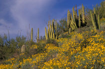 Flowering Brittlebrush and Saguaro and Organ Pipe cacti von Danita Delimont
