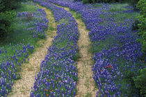 Tracks in blue bonnets von Danita Delimont