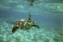 Young turtle swimming underwater on coral reef von Danita Delimont