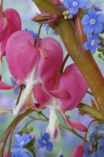 Detail of bleeding hearts and Brunnera Jack Frost flowers by Danita Delimont