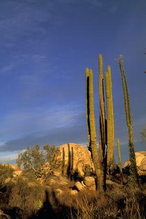 Cardon cactus von Danita Delimont