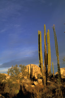 Cardon cactus by Danita Delimont