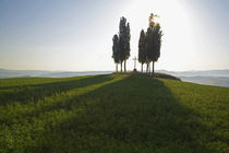 Cypress Trees in Tuscany with Cross von Danita Delimont