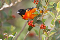 Baltimore Oriole (Icterus galbula) male feeding on fiddlewood by Danita Delimont