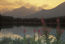 Sunrise scenic of Canadian Rockies and fireweed at Lake Herbert von Danita Delimont