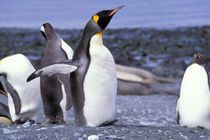 King Penguins (Aptenodytes patagonicus) von Danita Delimont
