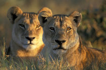 Lionesses (Panthera leo) lie in tall grass in Savuti Marsh at sunrise von Danita Delimont