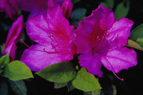 Azalea in bloom von Danita Delimont