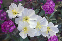 Evening primrose and sand verbena by Danita Delimont