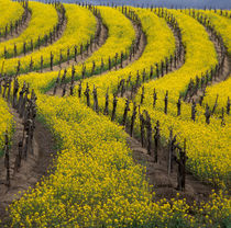 Springtime bloom of mustard between rows of grapevines von Danita Delimont