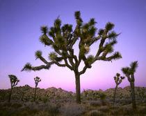 Mojave Desert by Danita Delimont