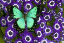 Papilio lorquinianus albertisi swallowtail by Danita Delimont