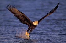 Kenai Peninsula Bald eagle catching fish out of ocean by Danita Delimont