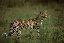 Leopard (Panthera pardus) hunting by Danita Delimont