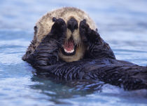Sea otters are the largest members of the weasel family in North America by Danita Delimont