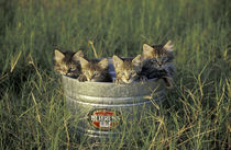 Eight-week-old kittens in a bucket; Maine Coon and tabby kittens by Danita Delimont