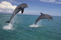 Bottlenose dolphins (Tursiops truncatus) by Danita Delimont