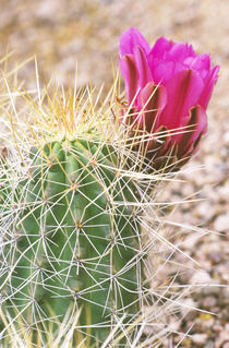 Strawberry Hedgehog Cactus (Echinocereus stramineus) von Danita Delimont