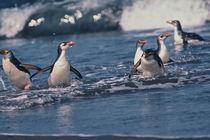 Royal penguins by Danita Delimont