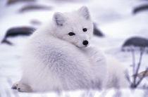 Arctic fox (Alopex lagopus) by Danita Delimont