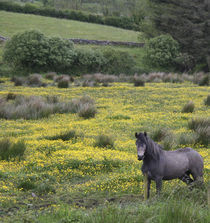 A horse stands in a bright field of yellow wildflowers by Danita Delimont