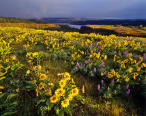 Spring wildflowers in abundance at the Tom McCall Preserve in Oregon by Danita Delimont