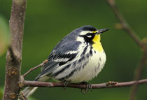 Yellow-throated Warbler (Dendroica dominica) by Danita Delimont