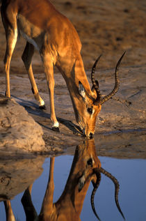 Bull Impala (Aepyceros melampus) is reflected while drinking from water hole in Savuti Marsh von Danita Delimont