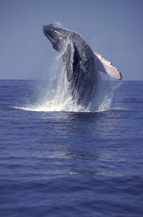 Humpback whale breaching (Megaptera novaeangliae) von Danita Delimont