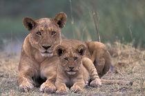 Lions von Danita Delimont